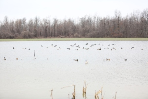 Flooded Corn Field for Duck Hunting