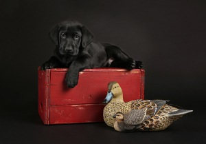 Lab-Puppy-Duck-Dog