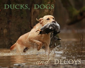 ducks-dogs-decoys-yellow lab